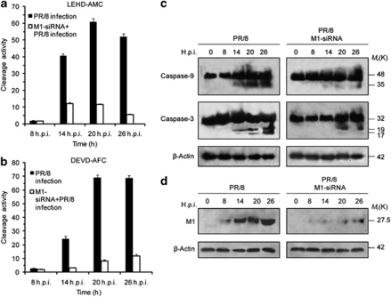Involvement of M1 in mitochondria-mediated caspase activation during influenza A/PR8 infection. ( a and b ) A549 cells were transfected with control siRNA or M1 siRNA (60 nmol), and 24 h later, were infected with 1 m.o.i. (multiplicity of infection) of influenza A/PR8 virus. Caspase-9 and caspase-3 activities were determined by hydrolysis of the LEHD-AMC and DEVD-AFC substrates, respectively. Results are representative of three independent experiments. Values represent means±S.D. of one experiment with three measurements taken. ( c ) Caspase processing was assayed by immunoblot analysis for the indicated times. Zymogens and cleavage products are indicated. ( d ) Expression of M1 was assessed by immunoblotting in PR8-infected cells and M1-siRNA-treated PR8-infected cells for the indicated times