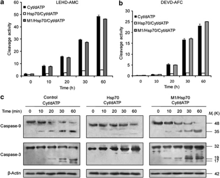 M1 inhibits Hsp70-mediated retardation of caspase activation in a cell-free system. ( a and b ) Cytosolic extracts prepared from Jurkat T cells were incubated with cytochrome c (10 μ M) and dATP (1 mM) in the presence or absence of recombinant human Hsp70 (3.58 μ M) and or recombinant M1 (10 μ g/ml) for the indicated time periods. Cleavage activities of caspase-9 and caspase-3 were determined by fluorometric quantification of LEHD-AMC and DEVD-AFC substrate cleavage, respectively. Results are representative of three independent experiments. Values represent means±S.D. of one experiment with three measurements taken. ( c ) Caspase cleavage was assessed by immunoblot analysis after exogenous addition of cytochrome c (10 μ M) and dATP (1 mM) in presence or absence of recombinant Hsp70 (3.58 μ M) and recombinant M1(10 μ g/ml)