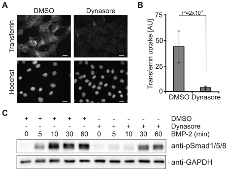Phosphorylation of Smad1/5/8 is delayed by inhibition of dynamin-dependent endocytosis. ( A ) Serum starved C2C12 cells were treated for 2 h with 40 µM dynasore or 0.05% DMSO and incubated for 15 min at 37°C with Alexa594-transferrin in the presence of dynasore and DMSO. Cells were fixed and transferrin uptake was monitored by fluorescence microscopy. Lower panels show Hoechst staining of the respective cells. Bar, 10 µm. ( B ) Quantification of transferrin uptake shown in (A). The histogram depicts the amount of internalized transferrin, derived from the total fluorescence signal of Alexa594-transferrin within the cell boundaries. The results are mean ± s.d. of at least 400 cells. AU, arbitrary units. ( C ) Serum-starved C2C12 cells were treated for 2 h with 40 µM dynasore or 0.05% DSMO prior to stimulation with 10 nM BMP-2 for the indicated time periods in medium containing dynasore or DMSO. Samples were processed for immunoblotting with anti-phospho-specific Smad1/5/8 antibody (anti-pSmad1/5/8) or GAPDH antibody (anti-GAPDH) as loading control. The Western Blot shown is representative of three independent experiments.