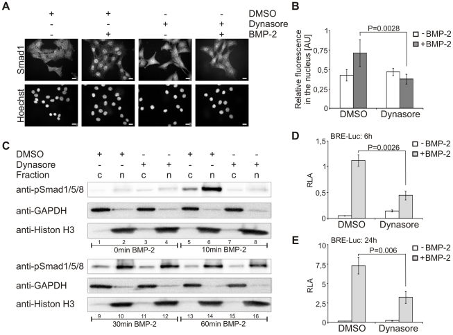 Smad1/5/8 nuclear translocation is delayed and transcriptional activity is reduced by inhibition of dynamin-dependent endocytosis. ( A ) Serum-starved C2C12 cells were treated for 30 min with 40 µM dynasore or 0.05% DMSO prior to stimulation with 10 nM BMP-2 for 30 min in medium containing dynasore or DMSO. After fixation, endogenous Smad1 was stained using a specific antibody, nuclei were stained by Hoechst dye, and cells were analyzed by fluorescence microscopy. The panels shown are representative of two independent experiments. Bar, 10 µm. ( B ) Quantification of the experiment shown in (A). Relative fluorescence intensity of nuclear to cytoplasmic Smad1 staining is depicted in the histogram. The results are mean ± s.d. of at least 100 cells. AU, arbitrary units. ( C ) Serum-starved C2C12 cells were treated for 2 h with 40 µM dynasore or 0.05% DSMO prior to stimulation with 10 nM BMP-2 for the indicated time periods in medium containing dynasore or DMSO. Samples were subjected to cytoplasmic-nuclear fractionation and processed for immunoblotting with anti-phospho-specific Smad1/5/8 antibody (anti-pSmad1/5/8). To control fractionation, samples were analyzed using anti-GAPDH or anti-Histon H3 antibodies. The Western Blot is representative of two independent experiments. c, cytosol; n, nucleus. ( D,E ) C2C12 cells were co-transfected with BRE-Luc and RL-TK. Cells were serum-starved and treated with 40 µM dynasore or 0.05% DMSO for 1 h prior to stimulation with 3 nM BMP-2 for 6 h (D) or 24 h (E) in medium containing dynasore or DMSO. Relative luciferase activity (RLA) of BRE-driven luciferase compared to constitutive expression of RL-TK is shown. Results are mean ± s.d. of triplicate measurements, representative of three independent experiments.