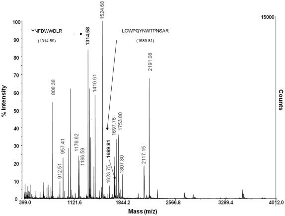 MALDI TOF/TOF spectrum of mutant (Y465D) ACE after tryptic digest. An in-gel tryptic digest was performed on mutant (Y465D) ACE, the cysteines were protected using iodoacetamide, and the total digest subjected to MALDI TOF/TOF using the matrix α-cyano-4-hydroxycinmanic acid. Masses corresponding to predicted ACE peptides are labeled. The masses corresponding to peptide containing Y465D and the C-terminal cleavage peptide are indicated in bold.