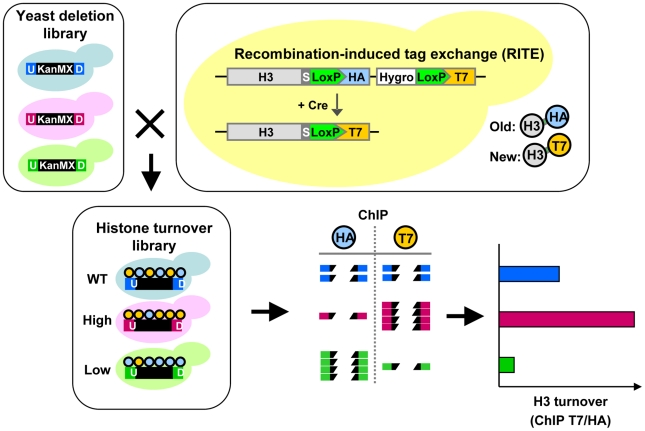 Combining Epi-ID with RITE to screen for histone turnover mutants. Each mutant in the yeast deletion library contains at the location of the deleted gene a common selectable marker gene (KanMX; black box) flanked by two unique barcodes: UpTag and DownTag (U/D). A set of deletion mutants was crossed with an H3-HAT7 RITE strain to switch epitope tags on histone H3 and monitor replacement of old by new histones in mutants (histone turnover library). Following a RITE assay and ChIP (HA and T7) on a pool of mutants, barcode abundance in each ChIP experiment was measured by deep sequencing. After normalizing the datasets, histone turnover at each barcode was calculated by taking the ratio of new/old (T7/HA) histone ChIP signals. Predicted results of mutants with higher and lower turnover are indicated.