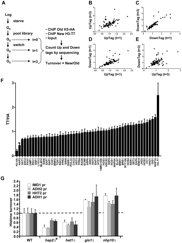 Epi-ID can identify histone turnover mutants. (A) Scheme of experimental set-up. (B–E) Comparison of new/old H3 ratios (T7/HA) of UpTags and DownTags and at two time points (one day; t = 1d, and 3 days; t = 3d), with Pearson correlations of 0.57, 0.87, 0.71, 0.52 for panels B–E, respectively. (F) Deletion mutants with low variation in histone turnover between UpTag and DownTag barcodes and between two different time points (SD