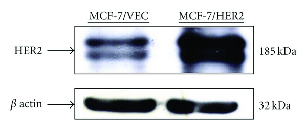 Expression of HER2/ neu in human breast cancer cells. Vector control MCF-7 cells (MCF-7/VEC) and HER2-overexpressing MCF-7 cells (MCF-7/HER2) were harvested, and cell lysates were analyzed by Western blotting with anti-HER2 and anti- β actin antibodies.
