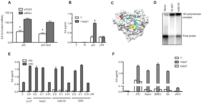The 1b HCV polymerase can enhance IL6 production by BEAS-2B cells. A) Enhanced IL6 production in the presence of 1bΔ21 can be knocked down by SiRNA to TLR3. siRNAs specific to TLR3 (siTLR3), RIG-I (siRIG-I), or a nonspecific control (nsRNA) were transfected into at a concentration of 30 nM into cells 48 h prior to the addition of 1bΔ21 (0.15 µM) and poly(I:C) (0.13 µg/ml) to the culture medium. IL6 in the medium was collected 24 h later and quantified by ELISA. The data from 3 to 4 sets of samples are presented as a percentage of the IL6 in the sample treated with nsRNA (100%). B) IL6 production by BEAS-2B cells in response to stimulation by the single-stranded polyinosinic acid (0.13 µg/ml), poly(I:C) (0.13 µg/ml) or lipolysaccharide (LPS) (1 µg/ml), the agonist for TLR4 in the absence (Ø) or presence of 1bΔ21 (0.15 µM). C) A model of the 1b HCV polymerase that illustrates the location of the Δ1 loop (in light blue), the GDD active site (in yellow), and the short helix deleted in mutant m26–30 (in red). D) The 1bΔ21 polymerase and 1b.m26–30 can form a complex with the double-stranded S4 RNA. The S4 dsRNA was labeled with α- 32 <t>P-CTP</t> and used in an electrophoretic mobility shift assay. The gel image shown is from a non-denaturing stacked polyacrylamide gel of 5 and 20%. E) Effects of mutations in 1bΔ21 on IL6 production induced by poly(I:C). f denotes a reaction with no added proteins. Proteins 1bΔ21, 1b.m26–30, and the active site mutant GDA were added to the culture media (final concentrations 0.01, 0.1 or 0.5 µM) in the absence or presence of 0.13 µg/ml poly(I:C). LL37 was added to a final concentration of 3 µM. F) The 1b HCV polymerase (1bΔ21, 0.1 µM), but not the 2a polymerase (2aΔ21, 0.1 µM), allowed TLR3 to produce cytokines in response to viral dsRNAs. In addition to poly(I:C), the RNA ligands used were those extracted from Reovirus virions (ReoV), from the endornavirus BPEV, and the annealed transcripts of the sense and antisense strands made from the S4 cDNA of Reovirus (S4), and the transcript of the HCV 2a JFH-1.