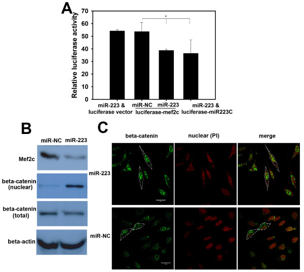 miR-223 targets the Mef2 c-β-catenin pathway during breast cancer cell invasion . (A) miR-223 transfection inhibited Mef2c gene expression. HEK-293T cells were co-transfected with miR-223 and the Mef2 c 3'-UTR-directed luciferase reporter (luciferase-Mef2c; Mef2c 3'-UTR cloned into the pMIR-REPORTER). Luciferase activities were measured as described in Figure 2. Cells transfected with miR-223 and luciferase vector, miR-NC and luciferase-Mef2c, or miR-223 and luciferase-miR-223C (miR-223 complementary sequence cloned in the 3'-UTR of luciferase reporter) were used as controls. Data are averages of triplicates from three independent experiments. * p