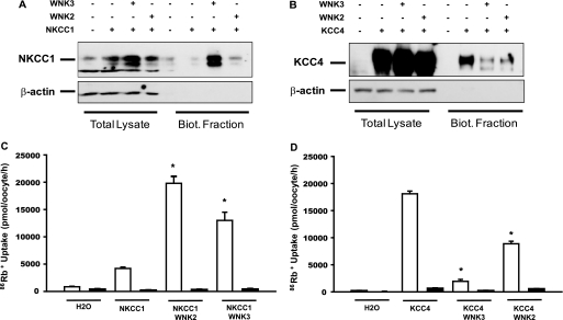 Effect of WNK2 and WNK3 on the protein level and surface expression of NKCC1 and KCC4. Western blot analysis of the total and <t>biotinylated</t> fraction of proteins extracted from oocytes injected with NKCC1 ( A ) or KCC4 ( B ) cRNA in the absence or presence of WNK2 or WNK3 cRNA. C and D depict the results of the functional expression performed the same day using oocytes from the same batch for NKCC1 or KCC4, respectively, expressed as bumetanide-sensitive ( C ) or chloride-dependent ( D ) 86 Rb + uptake.