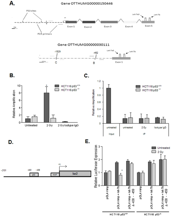 p53 interacts with the let-7a3 and let-7b gene enhancer. (A) PCR primers were designed to potential p53 binding sites upstream of let-7a3 and let-7b gene overlapping transcripts OTTHUMG00000030111 and OTTHUMG00000150446. HCT 116 cells were irradiated, fixed and p53 was immunoprecipitated using anti-p53 antibody. Real-time RT-PCR was then performed which revealed binding in the p53 +/+ cells after radiation but not in the p53 −/− cells (B). All results were normalized to input DNA. (C) Human genomic DNA upstream of let-7a3 and let-7b containing the p53 binding site was cloned upstream of luciferase in the vectors pGL3 basic or pGL4.23[ luc2 /minP]. Each of these constructs was transfected into HCT116 p53 +/+ cells. Twenty-four hours after transfection, lysates were collected and assayed for luciferase activity (D). The active pGL4.23[luc2/minP] clone was transfected into HCT116 p53 +/+ and p53 −/− cells that were irradiated to 2 Gy and assayed for luciferase expression. Although no change in luciferase expression was noted with transfection of the minimal promoter alone, the addition of the enhancer element resulted in suppression of luciferase expression in the HCT116 p53 +/+ cells but not the p53 −/− cells (E). * denotes p