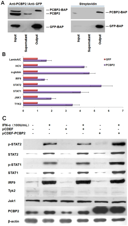 PCBP2 enhances the effect of IFN-α through binding STAT1 and STAT2 mRNA and up-regulates the expression of the two signal molecules in IFN-α pathway. RIP assay and targeted qRT-PCR confirmed the enrichment of different IFN-α signal pathway factor mRNAs in the PCBP2-RNA complex. (A) Detection of the PCBP2-RNA complex precipitated with streptavidin beads using anti-PCBP2 or anti-GFP antibody and streptavidin by Western blotting. (B) Targeted qRT-PCR was carried out on RNA isolated from RNP complexes precipitated in RIP assay. Analysis of mRNAs isolated from a GFP RIP reaction was carried out in parallel as nonspecific binding. α-globin was used as positive control. The enrichment of each mRNA was compared to the GFP control. Each bar represents the average of triplicate data points with standard deviation represented as the error bar . (C) PCBP2 up-regulated the expression of STAT1 and STAT2 after the treatment of IFN-α while other factors remained intact. The R1b cells were transfected with pcDEF vector or pcDEF-PCBP2. Forty-eight hours after transfection, the cells were treated with 100 IU/mL IFN-α and paired with untrasfected cells. Next, 6 hours later, the cell lysates were assessed by Western blotting.