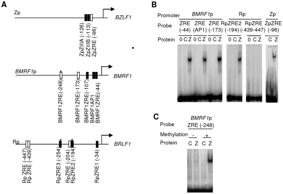 Evaluation of predicted ZREs in three EBV promoters. A. Summary of the known (filled box) and predicted (open box) core ZRE sequences within the proximal 500 nucleotides of the indicated BZLF1 , BRLF1 and BMRF1 promoters. The arrows represent the transcription start sites. Stars represent CpG ZREs. B. Double strand oligonucleotides were generated with the core ZRE sequence and at least 10 nucleotides of cognate sequence on either side. Following radio labeling, these were incubated with in vitro translated Zta and subject to EMSA. The reactions contained no protein, 0, control lysate, C or Zta, Z. The DNA probes are indicated above with their originating promoters. C. Double strand oligonucleotides were generated with the core ZRE sequence and 10 nucleotides of cognate sequence on either side. Following radio labeling, these were subject to in vitro methylation with SssI methyl transferase (+), or a mock reaction (−). Subsequently, they were incubated with in vitro translated Zta and subject to EMSA. The reactions contained control lysate, C; or Zta, Z.