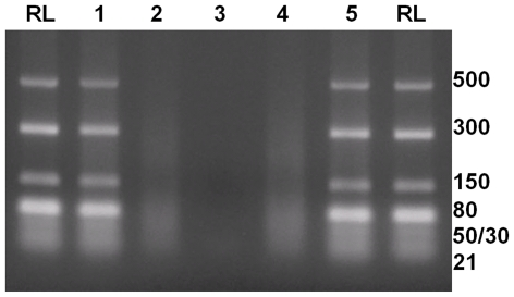Dicer competition assay. Lane RL: dsRNA ladder labelled in base pairs. Lane 1: dsRNA ladder pre-incubated with GIV NS4 followed by Dicer. GIV NS4 prevented cleavage by Dicer. Lane 2: dsRNA ladder pre-incubated with BTV-8 NS4, followed by Dicer. BTV-8 NS4 did not prevented Dicer from cleaving long dsRNAs into 21 bp long siRNAs. Lane 3: ladder incubated with Dicer as a positive digestion-control. Lane 4 : dsRNA ladder pre-incubated with VP9 of BAV followed by Dicer. VP9 of BAV did not prevent Dicer from cleaving long dsRNAs into 21 bp long siRNA. Lane 5: dsRNA ladder incubated with VP9 of BAV. VP9 of BAV did not affect the integrity of dsRNA.
