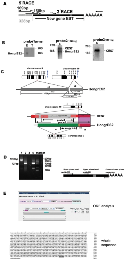 Clone and sequence analysis of HongrES2 cDNA. (A) Schematic representation of the 1.3-kb EST screened from a rat epididymal cDNA library, and the new 328 bp sequence obtained from two round 5′ RACE by a BD and Ambion kit, respectively. ( B ) Left panel: Northern blot analysis for HongrES2 with 32 P-labeled 504-bp HongrES2 EST probe1 (seqNo861-1364) . E: epididymis; T: testis; 20 µg total RNA per lane; middle panel: Northern blot analysis for HongrES2 with 32 P-labeled 1978 bp CES7 EST probe2 (seqNo116-2094); right panel: Northern blot analysis for HongrES2 with 32 P-labeled 1191 bp CES7 EST probe3 (seqNo498-1689). ( C ) Upper panel: Chromosomal localization of the HongrES2 gene. The dark gray box is exon 1 from rat chromosome 5, and the light gray box is exon 2 from chromosome 19. The small white box represents the 7-nucleotide overlap from these two exons. e1, exon1; e2, exon2. Lower panel: A sequence alignment of CES7 and HongrES2 . Twelve exons of the CES7 cDNA are depicted in the red rectangle. The same 216- bp fragment of the 3′ end of CES7 exon 12 and HongrES2 exon 2 is depicted by a purple shadow. The location of probe1, probe2 and probe3 for Northern blot analysis in figure1B is also marked out. ( D ) Left panel: RT-PCR validation using primers spanning the chimeric junction portion of HongrES2 cDNA. The product in lane1was got by the primer pairs of upper primer lane1 and common lower primer showed on the right panel. The product in lane2 was got by the primer pairs of upper primer lane2 and common lower primer; right panel: the schematic representation of the location of the two primer pairs used in the RT-PCR. Lane3: negative control; lane4: positive control. (E) Upper panel: ORF analysis of HongrES2 cDNA on line. Three short frames were displayed by rectangles and their sequential number and length were listed. Low panel: The full-length gene sequence of the HongrES2 cDNA. The gray box represents the poly(A) addition signal. The line labels the probe1 sequence used for the northern blot and in situ hybridization in Figure 3A .