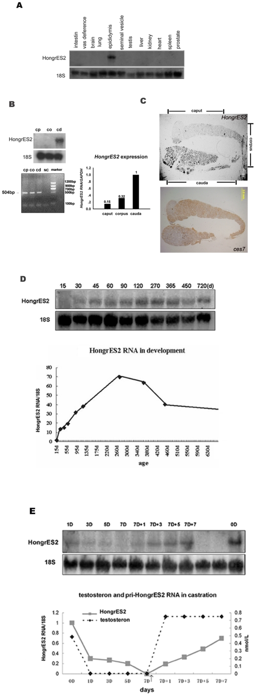 Regional and temporal expression of HongrES2 RNA. ( A ) The tissue distribution of HongrES2 RNA. ( B, C ) The region-specific expression pattern, as shown by northern blot analysis, QRT-PCR ,and in situ hybridization. CP:caput; CO:corpus; CD: cauda; an 18S probe was used on the stripped membrane as an internal loading control. Bar = 2.0 mm. The primers used for RT-PCR ,Real-time PCR was listed in Table1. ( D ) The upper panel shows the northern blot analysis of HongrES2 RNA and 18S rRNA during development. The lower panel shows the relative amounts of HongrES2 RNA in the rat epididymis at different developmental stages. ( E ) The upper panel shows Northern blot analysis of adult rat epididymal HongrES2 RNA. level from pre-castration (d0) and castration for 1, 3, 5, and 7 days (d1, d3, d5, and d7) as well as for 1, 3, 5, and 7 days after the initial injection of testosterone propionate applied to the 7d-castrated rats (d7+1, d7+3, d7 +5, and d7 +7). Injections were continued every 2 days. The lower panel showed the relative expression levels of HongrES2 RNA (hybridization density of HongrES2 RNA/18S ribosomal RNA) in the rat.
