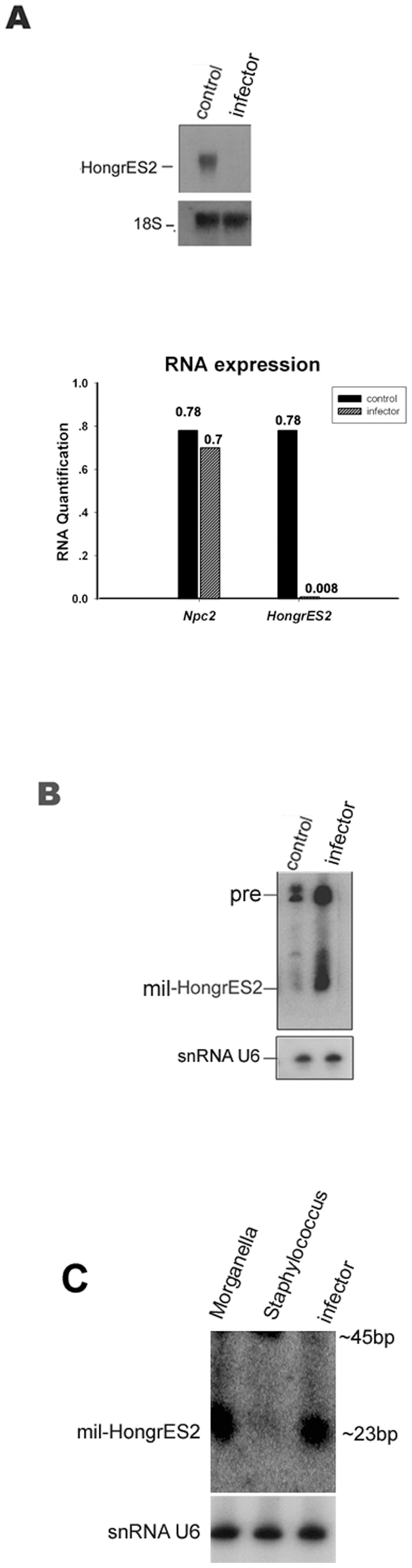 Over-expression of mil-HongrES2 caused by inflammation of the rat epididymitis. ( A ) The upper panel showed Northern blot analysis of the RNA expression of HongrES2 .18S rRNA was used as the loading control. The lower panel was the Real-time PCR analysis of Ncp2 besides HongrES2 . ( B,C ) Northern blot analysis to detect the mil-HongrES2 expression. U6 probe was used on the stripped membrane as an internal loading control.