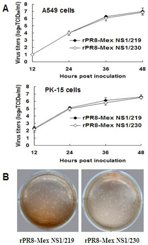 In vitro characterization of the recombinant viruses encoding different-length NS1 protein. (A) A549 or PK-15 cells were infected at an MOI of 0.001 TCID 50 per cell. After washed with <t>PBS,</t> fresh medium containing 0.1 µg/ml TPCK-trypsin was added. Supernatants were sampled at 12, 24, 36 and 48 h p.i. and virus titers were determined as log 10 TCID 50 /ml in MDCK cells. The statistical analysis was performed using Student's t test. (B) Virus plaque assay was performed by inoculating confluent MDCK cells in 6-well plates with appropriate dilutions of viruses. After washed with PBS, cells were overlaid with <t>DMEM</t> (without phenol red)-0.8% agarose mixture containing 1% bovine serum albumin and 1 µg/ml TPCK-trypsin. After incubated at 37°C for 4 days, a second agar overlay containing 1∶10,000 neutral red was added.