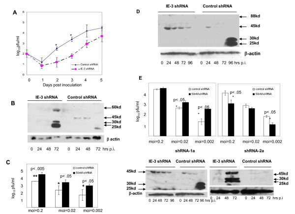 Effect of shRNAs 1 and 2 on MCMV replication at m .o.i. = 0.2. a) An <t>SEC</t> expressing <t>shRNA-2</t> was transfected into M2-10B4 cells 24 hrs prior to infection with MCMV at an m.o.i. of 0.2. b) Western blot of IE-3 protein levels in shRNA-2 treated and control shRNA treated samples Effect of MCMV specific shRNA at low m.o.i.'s in vitro . c) Virus titers at day 5 p.i. in M2-10B4 cultures infected with MCMV at the indicated m.o.i.'s. Dark bars: 50 nM IE-3 specific shRNA-1, white bars: control shRNA. d) Western blot showing the time course of IE-3 protein expression in MCMV-infected M2-10B4 cells (m.o.i. = 0.2) following transfection of the IE-3 shRNA-1 expressing plasmid. e) Viral titers at day 5 p.i. in M2-10B4 cultures infected with MCMV at various m.o.i.'s and treated with either shRNA-1a or shRNA-2a.