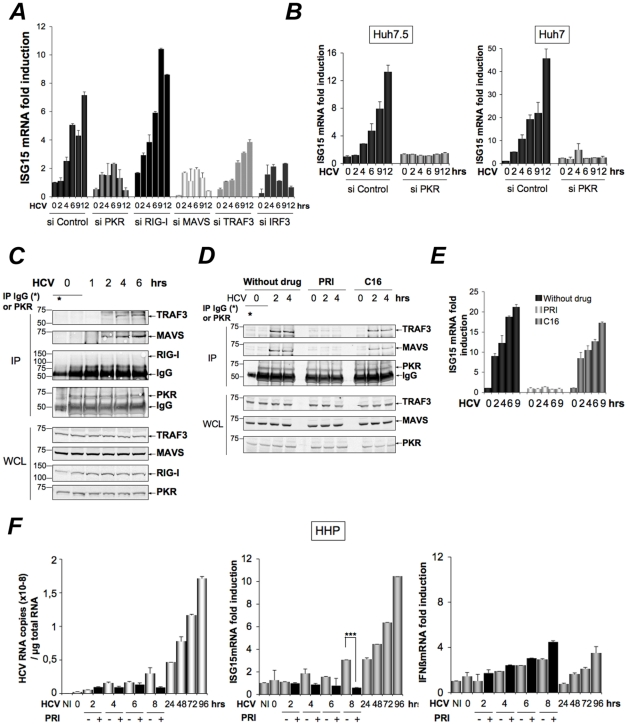 HCV-dependent induction of ISG15 involves PKR, MAVS and TRAF3 and not RIG-I. ( A–B ). A -The Huh7.25.CD81 cells were transfected with 50 nM Control siRNA and the different Smartpool siRNAs (50 nM siPKR; 10 nM siRIG-I; 5 nM si MAVS; 50 nM siTRAF3; 50 nM siIRF3) for 48 hrs and infected with JFH1 (m.o.i = 6). ( B ) Huh7.5 or Huh7 cells were transfected with siRNA Control or siPKR (50 nM) for 48 hrs and infected with JFH1 (m.o.i = 0.2 for Huh7.5 or 10 for Huh7). At the times indicated, expression of endogenous ISG15 was determined by RTqPCR and expressed as fold induction. Error bars represent the mean ±S.D for triplicates. The expression level of ISG15 RNA at the start of infection in the siControl cells was 9.97×10 4 copies (Huh7.25.CD81), 1.31×10 4 copies (Huh7.5) and 1.28×10 4 (Huh7). ( C–D ) Huh7.25.CD81 cells, in 100 cm 2 plates, were infected with JFH1 (m.o.i = 0.2) alone ( C ) or in presence of PRI or C16 ( D ). At the times indicated, cell extracts (3.5 mg) were processed for immunoprecipitation of PKR or for incubation with mouse IgG as a control of specificity (asterisk). The detection of the proteins in the complexes and in the whole cell extracts (WCE) was revealed by immunoblot using the Odyssey procedure. ( E ) The Huh7.25.CD81 cells were incubated with PRI or C16 and infected with JFH1 (m.o.i = 0.2) for the times indicated. Expression of endogenous ISG15 was determined as in A–B. The ISG15 RNA levels were 3.81×10 4 copies in the siControl cells. ( F ) Human primary hepatocytes (HHP) were infected with JFH1 (m.o.i = 6). One set of cells was incubated with 30 mM of the PRI inhibitor during 8 hours. At the times indicated, expression of HCV RNA, ISG15 and IFNβ was determined by RTqPCR. The expression levels of ISG15 and IFNβ RNA at the start of infection was 1.05×10 5 copies and 1,11×10 4 copies, respectively. Inhibition of induction of ISG15 by PRI at 8 hr post-infection was statistically significant (***; p = 0.0001).
