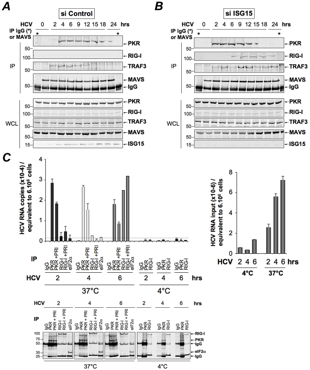 PKR both interacts with MAVS and <t>TRAF3</t> and binds HCV RNA ahead of RIG-I. ( A–B )- Huh7.25.CD81 cells were transfected with 25 nM of siRNA Control ( A ) or 25 nM of siRNA ISG15 ( B ) for 48 hrs and infected with JFH1 (m.o.i = 0.2). At the times indicated, cell extracts (4.5 mg) were incubated with anti-MAVS antibodies. In addition, cell extracts prepared at 0 hr post-infection were incubated with mouse <t>IgG</t> as a control of specificity (asterisk). The immunoprecipitated complexes were run on three different NuPAGE gels and blotted using Mab 71/10, anti-MAVS, anti-RIG-I or anti-TRAF3 antibodies. The expression level of each protein was controlled in the total cell extracts. ( C )- Huh7.25.CD81 cells were incubated with JFH1 (m.o.i = 6) for 2 hrs at 37°C or at 4°C in the absence or presence of 30 µM of PRI. This drug was applied one hour before the end of the incubation time. After washing the cells twice with PBS, the cells were further incubated for 2, 4 or 6 hrs at 37°C or at 4°C in the absence or presence of PRI (added every hour). The cell extracts were processed for crosslinking of RNA to proteins before lysis, as described in Materials and Methods and different immunoprecipitations were performed with antibodies directed against PKR, RIG-I or eIF2α. After extensive washing, the presence of HCV RNA linked to the immunocomplexes was analysed by RTqPCR and the presence of the proteins was verified by Western blot. Measure of HCV RNA in the cell extracts allowed to estimate its percentage of binding to PKR as 1.09%, 0.47% and 0.25% at 2, 4 and 6 hrs post-infection respectively, and its percentage of binding to RIG-I as 0.34% at 6 hrs post-infection.