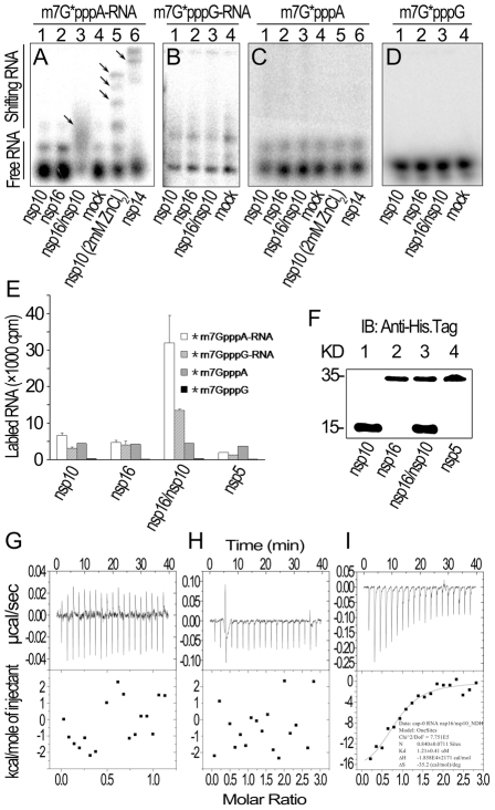 RNA substrate binding analyses of nsp10 and nsp16 of SARS-CoV. (A) Gel shift assays were performed by 8% N-PAGE to analyze the binding of 32 P-labeled m7G*pppA-RNA incubated with nsp10, nsp16, and nsp16/nsp10, respectively (lanes 1–3). There was no protein in the mock as negative control (lane 4). Nsp10 (with 2 mM ZnCl 2 ) and nsp14 were used as positive controls (lanes 5–6). (B) 32 P-labeled m7G*pppG-RNA was incubated with nsp10, nsp16, nsp16/nsp10, and mock respectively (lanes 1–4). Mixtures were analyzed by 8% N-PAGE. (C) 32 P-labeled m7G*pppA cap analogue was incubated with different proteins as in (A). Mixtures were analyzed by 14% N-PAGE. (D) 32 P-labeled m7G*pppG cap analogue was incubated with different proteins as in (B). Mixtures were analyzed by 14% N-PAGE. Positions of the free RNA substrates and shifting RNA substrates are indicated on the left. Black arrows indicate shifting RNA bands in each lane. (E) Different 3 H-labeled RNA substrates were used to test the binding affinities to nsp10, nsp16, and nsp16/nsp10. His 6 -nsp5 was a negative control ( n = 2, mean values ± SD). (F) 30 µL of the final suspensions from (E) were analyzed by Western Blotting analysis. (G to I) ITC profiles for the binding of nsp16 (G), nsp10 (H), and nsp16/nsp10 complex (I), respectively to m7GpppA-capped RNA. The top panels represent the raw data for sequential injections of nsp16, nsp10 and nsp16/nsp10 complex into m7GpppA-capped RNA (7 µM). The bottom panels show the plots of the heat evolved (kilocalories) per mole of purified proteins.