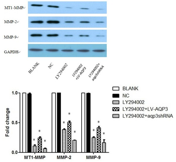 <t>LY294002</t> down-regulated MMPs expression and blocked the effect of LV-AQP3 and aqp3shRNA in SGC7901 cells . SGC7901 cells were exposed to LY294002 for 48h and then were harvested to perform Western blot analysis. We found a significant decrease in MT1-MMP, MMP-2, and MMP-9 expression. However, with the addition of LY294002, the expression of MMPs could not be obviously reversed in LV-AQP3 or aqp3shRNA groups. * p