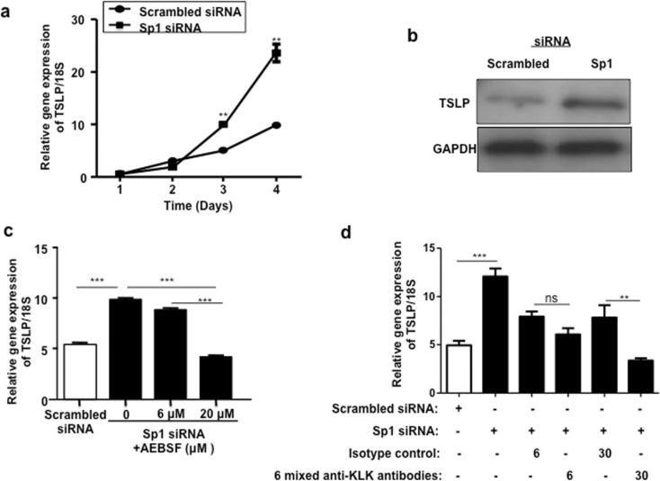 <t>TSLP</t> gene expression is up-regulated in <t>Sp1-silenced</t> NHK depending on enhanced protease activity a) TSLP mRNA is significantly increased at days three and four following Sp1 silencing as compared to NHK transfected with scrambled siRNA. b) TSLP protein was detected by western-blot in NHK four days after transfection of siRNA duplexes. c) NHK cells were transfected with scrambled siRNA and Sp1 siRNA duplexes in the absence and presence of protease inhibitor AEBSF for three days. mRNA levels of TSLP were measured by quantitative real-time PCR. d) NHK cells were transfected with scrambled siRNA and Sp1 siRNA duplexes in the absence and presence of six anti-KLK neutralizing antibodies and isotype control IgG for three days (see methods for details). mRNA levels of TSLP were measured by quantitative real-time PCR. Data are presented as mean ± s.e.m of triplicate experiments. ** P
