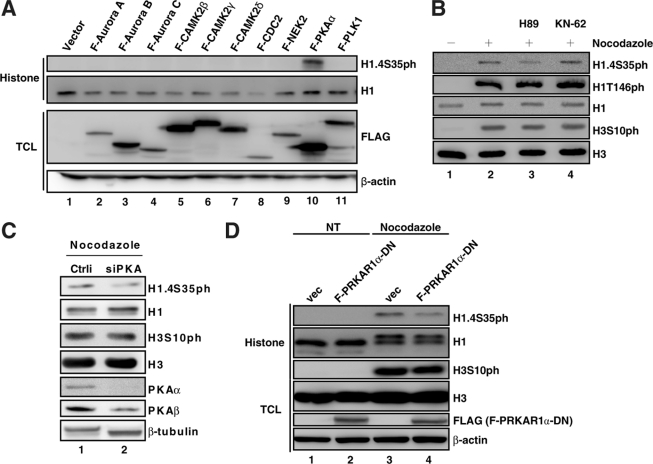 PKA mediates mitotic H1.4S35 phosphorylation in vivo . A , PKA overexpression induces H1.4S35 phosphorylation. 293T cells were transfected with indicated kinases for 24 h and subjected to Western blotting using indicated Ab. B , PKA inhibition reduces H1.4S35 phosphorylation. HeLa cells incubated with nocodazole (400 ng/ml) for 16 h were treated with kinase inhibitor H89 or KN-62 for 2 h, followed by Western blotting using Abs against the indicated proteins. C , PKA knockdown down-regulates H1.4S35 phosphorylation. HeLa cells depleted with PKAα and PKAβ by siRNA for 2 days were incubated with nocodazole for 16 h and subjected to Western blotting. D , expression of the dominant-negative PKA regulatory subunit inhibits H1.4S35 phosphorylation. HeLa cells with or without expressing the dominant-negative PKA regulatory subunit (F-PRKAR1α-DN) were incubated with nocodazole for 16 h and subjected to Western blotting using Abs against the indicated proteins. vec , vector; NT , mock-treated; TCL , total cell lysate.