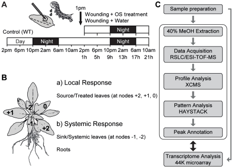 Experimental procedures used to identify oscillating and herbivore-induced metabolites and their associated genes in different tissues of Nicotiana attenuata . (A) Wild type (WT) N. attenuata plants were harvested every 4 h for two days during the initiation of stem elongation. To mimic herbivory, oral secretions (OS) of the larvae of the specialist herbivore, M. sexta , were immediately applied to puncture wounds made in leaves at 1 pm. Water treatment of puncture wounds on separate plants was used to distinguish OS-specific from wound-induced changes in metabolites and transcripts. (B) Metabolites from three different tissues, source leaves, sink leaves, and roots of N. attenuata were isolated. The leaf at node 0 had completed the sink to source transition and the leaf at node +1 was older by one leaf position than the leaf at node 0 and so forth. Source leaves (at nodes +2, +1, 0) were wounded with a fabric pattern wheel and treated with 20 µl of M. sexta OS, which was diluted 1∶5 with water. Untreated leaves (at nodes −1, −2) and roots were harvested to monitor systemic responses. (C) After sample preparation from six biological replicates, a 40% methanol extraction method optimized for the defense metabolites of N. attenuata was used and the metabolites separated with a rapid separation liquid chromatography (RSLC) on a C 18 column and detected by ESI-TOF-MS (electrospray ionization time-of-flight mass spectrometer) for parents and their daughter ions. Peak picking and alignments were performed with the XCMS package [19] . Diurnal oscillating metabolites were extracted by the pattern matching algorithms of HAYSTACK tool [20] . In-house and public databases were used to identify oscillating metabolites and a 44K Agilent microarray designed for N. attenuata was used to examine the expression of metabolite-related genes.