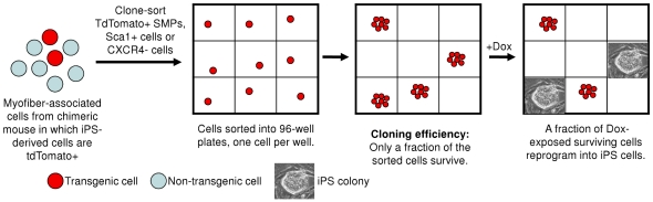 Clone-sorted myofiber-associated stem cells reprogram at high efficiency. ( A ) Experimental strategy for clone-sorting and reprogramming sorted cells. Myofiber-associated cells from transgenic mice carrying dox-inducible transgenes (Oct4, Sox2, c-Myc, Klf4) and labeled with constitutively-expressed Tdtomato [22] , were double-sorted for purity, and seeded into 96-well plates, at one cell per well, on irradiated MEFs. After three weeks in dox-containing media, emergent colonies were trypsinized and passaged in the absence of dox, and iPS lines were established which showed embryonic stem cell-like morphology, stained for the pluripotent marker <t>SSEA-1,</t> and showed alkaline phosphatase activity (data not shown).