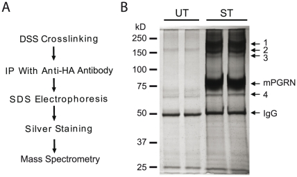 Biochemical identification of PGRN-interacting proteins. ( A ) Description of the experiment in C . mPGRN-HA stably transfected HEK293 cells were treated with the chemical crosslinker DSS. Immunoprecipitation was performed with an anti-HA antibody. The immunoisolates were analyzed by SDS-PAGE, which was then silver stained. Specific bands were cut out and analyzed by mass spectrometry. ( B ) Image of a gel after silver staining. The identities of bands 1–4 are listed in Table 1 .