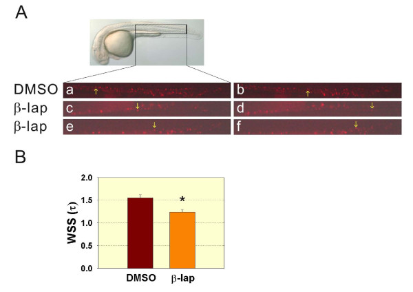 Decreased wall shear stress was detected in β-lapachone-treated embryos . Tg( gata1 : DsRed ) was treated with DMSO or β-lapachone for 4 h at 24 h post-fertilization (hpf), and blood cell circulation was recorded at 30 hpf. A: A DIC image of 30-hpf embryos is shown. The inset figure in panel A indicates the recorded region, and DsRed-labeled erythrocytes were recorded under the TRITC mode (a-f). Images corresponding to an individual DsRed-labeled erythrocyte (arrow) at time 0 and after traveling for some distance at time t are shown for respective DMSO-treated (a, b) and 2 representative β-lapachone-treated (c, d; e, f) embryos. B: The relative wall shear stress was calculated based on τ = 4 μQ/πR 3 where μ is viscosity, Q is the flow rate, and R is the blood vessel diameter. Student's t -test was used to compare DMSO- and β-lapachone-treated embryos. * p