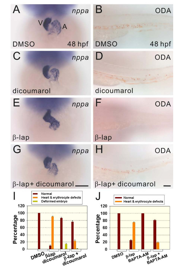 Both dicoumarol and BAPTA-AM rescued the erythrocyte-deficiency in circulation and heart-looping defect phenotypes in β-lapachone-treated embryos . Embryos at 24 hours post-fertilization (hpf) were treated with either 0.2% DMSO (A, B), 5 μM dicoumarol (C, D), 2 μM β-lapachone (E, F), or 2 μM β-lapachone and 5 μM dicoumarol (G, H) for 4 h and fixed for nppa hybridization and o -dianisidine (ODA) staining at 48 hpf. Higher-magnification ODA-stained images of the ventral tail region are shown (B, D, F, H). (I, J) Evaluation of the rescue effects by dicoumarol or BAPTA-AM. Error bars indicate the standard error. Scale bars represent 100 μm.