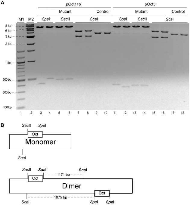 Mutant plasmids from octarepeat replication in DH5α are all head-to-head dimers. (A) Restriction analysis of replication-mutant plasmids with Spe I, Sac II and Sca I. pOct5 or pOct11b were transformed into DH5α. Plasmid DNAs were prepared from two mutant colonies and two control (non-mutant) colonies each for pOct5 and pOct11b, digested with Spe I, Sac II or Sca I, and separated by agarose gel electrophoresis. All mutant colonies appear to contain a minute amount of monomer plasmids. M1, 100-bp DNA ladder; M2, 1-kb DNA ladder. (B) Diagram of the head-to-head plasmid dimers. The top panel depicts the parental plasmid monomer; the bottom panel depicts the dimer where the newly generated monomer unit is highlighted in thicker lines. The boxes denote the octarepeat inserts.