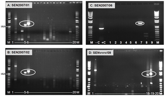 Electrophoretic analysis of cDNA from Seg-2 of AHSV isolates from Senegal 2007 using 'type-specific' primer-pairs. Panel A and B: PCR amplicons were generated from AHSV Seg-2 specific RT-PCR of dsRNA extracted from equine lung (SEN2007/01 – panel A) and spleen (SEN2007/02 – panel B) using primer-pairs '2A1' (1098 bp, lane 5 in both panels) and '2A2' (1339 bp, lane 6 in both panels) ( Table S1 ), demonstrating that the samples contain AHSV-2 RNA. Lanes 3–20 represent RNA tested from AHSV-1 to 9 using two pairs of primers for each serotypes. Lane 1 is a negative water control showing no amplification. Lane M: 1 Kb marker (Invitrogen). RNA from BTV-4/RSArrrr/04 was used as a positive control using primer-pair '4W2' - 2324 bp [41] (lane 2). Panel C: PCR amplicons were generated from AHSV Seg-2 specific RT-PCR of dsRNA extracted from SEN2007/06 using primer-pairs '7A1' (1426 bp - lane 7) ( Table S1 ), demonstrating that the samples contain AHSV-7 RNA. Lanes 1–9 represent RNA tested from AHSV-1 to 9 using first set of primers for each serotypes. No amplification was detected in other serotypes. Lane −C is a negative water control showing no amplification. Lane M: 1 Kb marker (Invitrogen). RNA from ASHV multivalent vaccine strain (SENvvv1/MV) with '3A1' was used as positive control which generated a product of 751 bp (lane +C). Panel D: PCR amplicons were generated from AHSV Seg-2 specific RT-PCR of dsRNA extracted from SENvvvv/09 using primer-pairs '9A1' (1483 bp - lane 18) and '9A2' (1706 bp – lane 19) ( Table S1 ), demonstrating that this sample contains AHSV-9 RNA. Lanes 3–20 represent RNA tested from AHSV-1 to 9 using two pairs of primers for each serotypes. Lane 1 is a negative water control showing no amplification. Lane M: 1 Kb marker (Invitrogen). RNA from BTV-4/RSArrrr/04 was used as a positive control using primer-pair '4W2' - 2324 bp [41] (lane 2).
