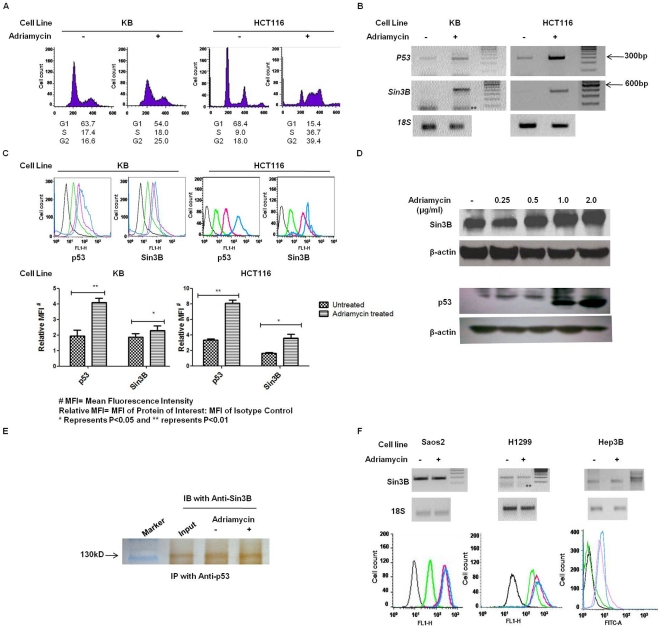 Up-regulation of hSin3B in response to Adriamycin is p53-dependent. (A) KB and HCT116 cells were treated with 1.0 µg/ml Adriamycin for 16 hours followed by propidium iodide staining and cell cycle analysis. Adriamycin treatment induced a predominant G2 cell cycle arrest in KB cells and S/G2 arrest in HCT116 cells. (B) Total RNA was isolated and cDNA was synthesized from KB and HCT116 cells with or without Adriamycin treatment. Semi-quantitative PCR results indicated increased levels of p53 and hSin3B mRNA levels in Adriamycin treated cells. (C) Upper panel shows the results of immuno-fluorescence assays using flow cytometry. Lower panel is a plot of the above results comparing the mean fluorescence intensity for p53 and hSin3B in the untreated and Adriamycin treated cells. A significant increase in p53 (P = 0.0049 in KB and P = 0.0036 in HCT116 cells) and hSin3B proteins (P = 0.0234 in KB and P = 0.0365 in HCT116 cells) was observed following Adriamycin treatment. The values have been plotted with ±SEM calculated from three (n = 3) independent experiments. (D) Western analysis of cell lysates of control and Adriamycin treated KB cells showed an increase in the hSin3B and p53 protein levels upon treatment with 1.0 and 2.0 µg/ml Adriamycin. (E) IP-Western analysis of KB cell extract after treatment with 1.0 µg/ml Adriamycin indicates the co-immunoprecipitations of hSin3B with p53 both before and after Adriamycin treatment. (F) Results of semi-quantitative PCR (upper panel) and immuno-fluorescence assays using flow cytometry (lower panel) showed no significant change in the expression levels of either hSin3B transcript or protein in p53-null cells viz. (i) Saos2 (ii) H1299 and (iii) Hep3B cells following treatment with 1.0 µg/ml Adriamycin. In all the immuno-fluorescence experiments using flow cytometer (C F) pink histograms represent cells not treated with Adriamycin and Blue histogram represent Adriamycin treated cells. Black and green histograms represent the autofl