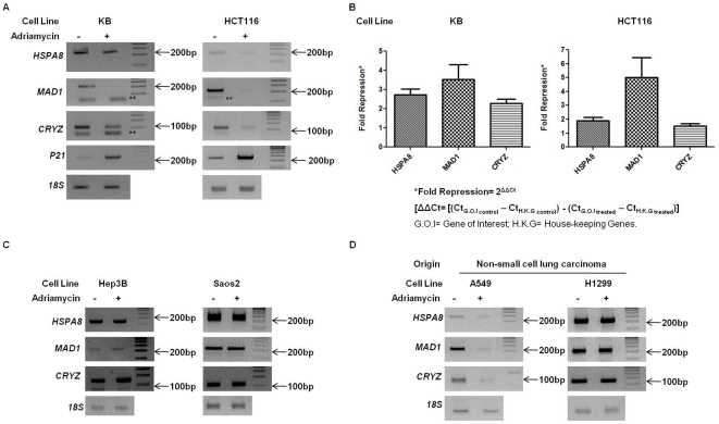 HSPA8 , MAD1 and CRYZ promoters are repressed upon treatment with Adriamycin in p53 +/+ cells. (A B) Total RNA was isolated and cDNA was synthesized from p53 +/+ cell lines: KB HCT116 with or without Adriamycin treatment. Semi-quantitative PCR results (A) indicated an Adriamycin treatment induced transcriptional repression of HSPA8 , MAD1 and CRYZ promoters and transcriptional activation of p21 . Quantitative RT-PCR (B) re-confirmed the repression of the three genes in both KB and HCT116 cell lines. The values have been plotted with ±SEM calculated from three (n = 3) independent experiments. (C) cDNA was synthesized from total RNA isolated from p53 −/− cell lines: Hep3B and Saos2 cells with or without Adriamycin treatment followed by semi-quantitative PCR. No significant change in transcript levels of HSPA8 , MAD1 and CRYZ was observed in Hep3B and Saos2 cells. (D) cDNA was synthesized from total RNA isolated from two non-small cell lung carcinoma cell lines, A549 (p53 +/+ ) and H1299 (p53 −/− ). No significant change in the expression was observed for the three genes in H1299 cells. In contrast a strong repression of HSPA8 , MAD1 and CRYZ was observed in A549 cells. For all expression studies 18S rRNA was used as endogenous control. Representative figures of three independent experiments are shown. ** indicates primer dimers.