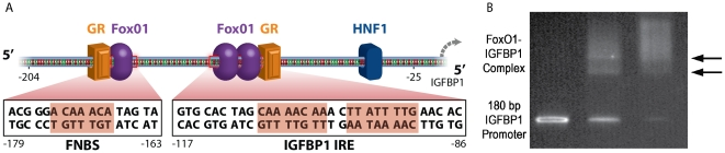 IGFBP1 promoter sequence and FoxO1 binding assay. (A) The 180 bp mouse IGFBP1 promoter sequence (−204 to −25) contains three FoxO1 binding sites, two within the IRE (insulin response element) and one new binding site designated FNBS. This promoter fragment also contains a binding site for the transcription factor HNF-1 (hepatocyte nuclear factor 1) and two binding sites for GR (glucocorticoid receptor). (B) Electrophoretic mobility shift assay (EMSA) confirms specific binding of recombinant FoxO1 protein to the PCR amplicon. The band in lane one corresponds to free IGFBP1 DNA. Two new bands, indicated by the arrows, appear in lane two when FoxO1 protein is mixed with the IGFBP1 DNA at a molar ratio of 1.5∶1.0 corresponding to the formation of the 1∶1 and 2∶1 FoxO1-IGFBP1 protein-DNA complex. Increasing the molar ratio of FoxO1 protein to IGFBP1 DNA to 3.0∶1.0 results in a nearly complete depletion of free DNA and an increase in the intensity of the band assigned to the 2∶1 complex.
