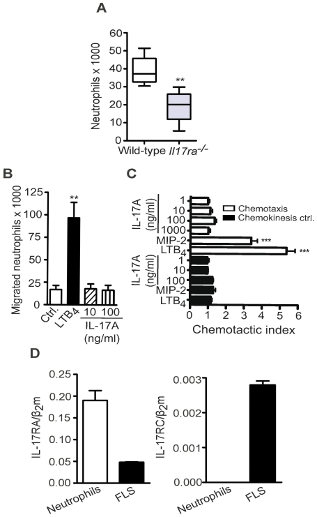 Neutrophils are reduced in the joints of Il17ra −/− mice and are unresponsive to direct stimulation with <t>IL-17A.</t> A, Number of neutrophils in the ankle joints of WT and Il17ra −/− mice on day 12 was determined by FACS analysis counting Ly6G + cells in relation to counting beads. Data are presented as mean ± SEM (n = 3 mice per group). One of three independent experiments is shown. B, Chemotaxis of freshly isolated murine bone marrow-derived neutrophils towards 100 nM LTB 4 and IL-17A (10 and 100 ng/ml) assessed using 24-well transwell assays. Data represent numbers of migrated neutrophils (n = 3 independently performed experiments). C, Chemotaxis of freshly isolated murine bone marrow-derived neutrophils towards LTB 4 (100 nM) MIP-2 (100 nM) and IL-17A (1, 10, 100, 1000 ng/ml) as well as their corresponding chemokinesis controls assessed using 96-well ChemoTx assays. Data are presented as chemotactic index (number of cells migrating to chemoattractant/number of cell migrating to medium control). Data shown are mean ± SEM (n = 4 independently performed experiments). D, Levels of IL-17RA and IL-17RC mRNA determined by qPCR on RNA isolated from murine FLS and freshly isolated bone marrow-derived neutrophils (n = 3 independently performed experiments). Data were compared by unpaired two-tailed Student's t test, ** = p