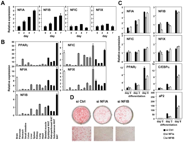 NFIA and NFIB are novel regulators of adipocyte differentiation. (A) Transcriptional regulation of NFI transcription factors during adipocyte differentiation (3T3-F442A). (B) Tissue distribution of the NFI family genes. Expression levels relative to 36B4 in various tissues were determined by qPCR. (C, D) Effects of siRNA-mediated knockdown of NFIA and NFIB on adipogenic gene expression (C) and lipid accumulation in 3T3-L1 adipocytes judged by oil red O staining (D). Knockdown of either NFIA or NFIB resulted in suppression of the induction of PPARγ, C/EBPα and the PPARγ target gene, aP2, as well as increase in lipid accumulation during adipocyte differentiation.