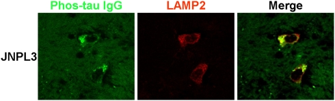 Neuronal co-localization of <t>FITC–IgG</t> and <t>LAMP2</t> . High magnification confocal microscope images of brain slice sections from a JNPL3 transgenic mouse. Brain slices were incubated with FITC–IgG from a high titer Tau 379–408[pSer 396, 404 ] immunized mouse (green) and after sectioning co-stained with an antibody to LAMP2 (red), which is a marker of late endosomes and lysosomes. The merged image indicates areas of co-localization (green/yellow) between FITC–IgG and late endosomes/lysosomes, mainly in perinuclear areas. The neuronal morphology is clearly delineated by the regions of staining.