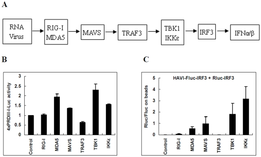 Comparison of IRF3 dimerization using the DLR-PD assay and activation of the IRF3 regulatory element PRDIII-I induced by different molecules in HEK293 cells. ( A ) Schematic diagram of virus-activated innate antiviral signaling pathways. ( B ) Activation of the IRF3 regulatory element PRDIII-I induced by different expression vectors (control pCDNA3.1, GFP2-RIG-I, Halo-MDA5, eYFP-MAVS, Myc-TRAF3, Myc-TBK1 or Myc-IKKε) in HEK293 cells 24 h post-transfection. The IRF3 regulatory element PRDIII-I was assayed with 4xPRDIII-I-Fluc and the pRL-TK dual reporter. After being normalized by Rluc activity, Fluc activity from different cell lysates was compared with that of control pCDNA3.1-transfected cells. ( C ) Analysis of the association of HAVI-Fluc-IRF3 with Rluc-IRF3 induced by different molecules using the DLR-PD assay. HEK293 cells were co-transfected with HAVI-Fluc-IRF3 (20 ng), Rluc-IRF3 (10 ng) and different expression vectors (100 ng of control pCDNA3.1, GFP2-RIG-I, Halo-MDA5, eYFP-MAVS, Myc-TRAF3, Myc-TBK1 or Myc-IKKε). Subsequently, the DLR-PD assay was performed. The Rluc/Fluc ratio on the beads was calculated by dividing the Rluc activity by the Fluc activity measured on the beads.