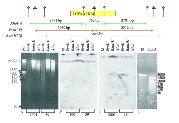 """Determination of long-chain fatty acyl-CoA ligase gene copy number. The nuclear DNA of L. donovani 2001 and 39 promastigotes was isolated and 16 μ g was digested with different restriction enzymes. (A) Nuclear DNA digest stained with ethidium bromide (B) Southern blot of """"A"""" with α -tubulin gene probe. (C) Southern blot of """"A"""" with long-chain fatty acyl-CoA ligase probe. (D) PCR amplification of long-chain fatty acyl-CoA ligase gene (M: Marker, LCFA: 2010 bp of long-chain fatty acyl-CoA ligase gene)."""