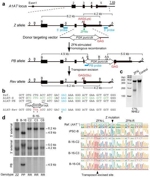 Correction of the Z mutation in <t>A1ATD-hIPSCs</t> a , The strategy for precise genome modification using ZFNs and the piggyBac transposon. Top line, structure of the A1AT gene; blue lines, Southern blot probes; thin and thick boxes, non-coding and coding exons, respectively; open arrow, piggyBac transposon; B, Bam HI; A, Afl III. b , Sequences of wild-type (Reference), Z, PB , and Rev alleles. Amino acid position 342 (blue), recognition sites for ZFNs (green), piggyBac excision site (red) are shown. Sequence changes in Rev allele from Z allele were indicated by asterisks. c , Surveyor nuclease assay showing the cleavage of Z mutation in ZFNs-transfected K562 cells. Non-transfected cells were used as a control. d , Southern blot analysis showing bi-allelic piggyBac insertion (B-16) and bi-allelic excision (B-16-C2, -C3 and -C6) during correction of the A1ATD-hIPSCs line B. Genomic <t>DNA</t> was digested by Bam HI (5′ and PB probes) or Alf III (3′ probe). Genotype: ZZ, homozygous for Z allele; PP, homozygous for insertion of piggyBac ; RR, homozygous for reverted allele. e , Sequence analysis showing correction of Z mutation in 3 corrected hIPSC lines. Wild-type sequence (top line) and A1ATD-hIPSC (second line).