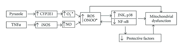 Model for the potentiation of TNF α -induced hepatotoxicity, oxidative stress mitochondrial dysfunction, and activation of MAPK by pyrazole induction of CYP2E1. Pyrazole induction of CYP2E1 coupled to TNF α induction of <t>iNOS</t> results in elevated oxidative/nitrosative stress in hepatocytes. This results in activation of JNK and p38 MAPK which, along with the elevated ROS/RNS, damage mitochondrial function ultimately leading to liver injury.