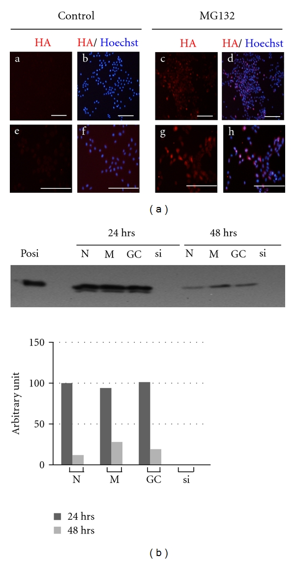 Specificity of SP6 induction by MG132 treatment. (a) Subcellular localization of SP6 in C9 cells treated with MG132. SP6 localization was analysed by immunofluorescence signals. Red colour indicates SP6 detected by anti-HA antibody, blue colour shows nuclei stained with Hoechst 33342. (a–d): low magnification; (e–h): high magnification. Scale bar indicates 200 μ m. (b) Knockdown of SP6 in MG132-treated C9 cells by siRNA. Posi: positive control; N: no treatment; M: Lipofectamine RNAiMAX only; GC: negative control siRNA; si: siRNA against Sp6 . Upper panel: SP6 expression was detected by WB. Lower panel: relative SP6 levels estimated by densitometric analysis of WB results.