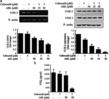 Effects of the combination of celecoxib and ABL on COX-2 expression and activity in MDA-MD-231 cells. ( a ) MDA-MD-231 cells were treated with celecoxib, ABL or their combination for 24 h (left) or 48 h (right). COX-2 mRNA and protein expression was examined using RT-PCR (left) and western blot analysis (right). Quantification of COX-2 mRNA and protein expression normalized to actin levels, were provided at the bottom. ( b ) MDA-MB-231 cells were treated with the combination for 48 h, and PGE 2 levels in the culture medium were measured using ELISA. Results were expressed as mean±S.E.M. from at least three independent experiments