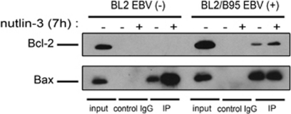 Interaction of <t>Bax</t> with Bcl-2 in BL2 EBV (−) and BL2/B95 EBV (+) cells untreated or treated with nutlin-3. Cells were treated with 10 μ M nutlin-3 or the solvent dimethyl sulfoxide for 7 h. Lysates were subjected to immunoprecipitation with agarose-conjugated anti-Bax <t>pAb</t> (IP) or agarose-conjugated control rabbit IgG (IgG control) and then subjected to western blotting with an anti-Bcl-2 mAb or an anti-Bax pAb. As a control for protein levels before IP, a portion of cell lysate (input) corresponding to 15% of the input for IP was also included in the western blot. All results are representative of three independent experiments