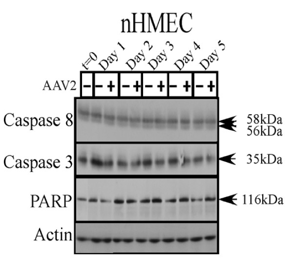 AAV2 infection of nHMECs does not result in activation of caspases of either the intrinsic and extrinsic pathways of apoptosis . nHMEC monolayer cultures were synchronized in G1 as described, followed by infection with AAV2. Cell pellets were collected each day over a 5 day period. Cells were passaged 1:2 on day 2. Detection of caspases and their cleavage/activation was performed by Western blotting. Sixty micrograms of total protein extracts from AAV2 infected and control nHMEC cells were resolved in SDS-polyacrylamide gel electrophoresis (PAGE) gels. To detect caspase-8 proteins were resolved in a 10% SDS-PAGE gel and detected with a mouse monoclonal antibody (Alexis Biochemicals). To detect the 35 kDa pro-caspase form of caspase-3, proteins were resolved in a 10% SDS-PAGE gel and detected with caspase-3 rabbit monoclonal antibody (Cell Signaling Technology). To detect the pro- (116 kDa) form of PARP, proteins were resolved in a 7.5% SDS-PAGE gel and detected with a rabbit monoclonal antibody (Cell Signaling).