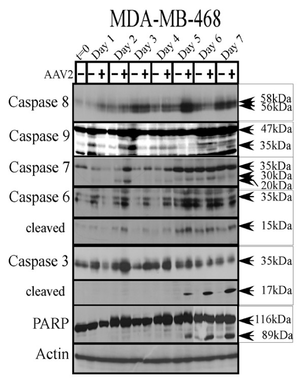 AAV2 induction of apoptosis in MDA-MB-468 cells results in PARP cleavage following activation of caspases of the intrinsic pathway . MDA-MB-468 monolayer cell cultures were synchronized in G1, followed by infection with AAV2. Cell pellets were collected each day over a 7 day period. Cells were passaged 1:2 on day 2 and day 5. Detection of caspases and their cleavage/activation was performed by Western blotting. Total protein extracts were prepared as described previously [ 48 ]. Sixty micrograms of total protein extracts from AAV2 infected and control MDA-MB-468 cells were resolved in SDS-polyacrylamide gel electrophoresis (PAGE) gels. To detect the 35 <t>kDa</t> pro-caspase form of <t>caspase-3,</t> proteins were resolved in a 10% SDS-PAGE gel and detected with caspase-3 rabbit monoclonal antibody (Cell Signaling Technology). To detect the17-kDa cleaved caspase-3 forms, proteins were resolved in a 15% SDS-PAGE gel and detected with rabbit polyclonal antibody against cleaved caspase-3 (Cell Signaling Technology). To detect the 35 kDa pro-caspase form of caspase-6, proteins were resolved in a 10% SDS-PAGE gel and to detect the 15 kDa cleaved form of caspase-6, proteins were resolved in a 15% SDS-PAGE gel and detected with a rabbit polyclonal antibody (Cell Signaling Technology). To detect both the pro- and cleaved forms of caspase-7, caspase-8 and caspase-9, proteins were resolved in a 10% SDS-PAGE gel. The 35 kDa pro-caspase form and the 30 kDa and 20 kDa cleaved forms of caspase-7 was detected with a mouse monoclonal antibody (Cell Signaling). Caspase-8 was detected with a mouse monoclonal antibody (Alexis Biochemicals). The 47 kDa pro-caspase and 35 kDa cleaved of caspase-9 was detected with a rabbit polyclonal antibody (Cell Signaling). To detect the pro- (116 kDa) and cleaved- (89 kDa) forms of PARP, proteins were resolved in a 7.5% SDS-PAGE gel and detected with a rabbit monoclonal antibody (Cell Signaling).