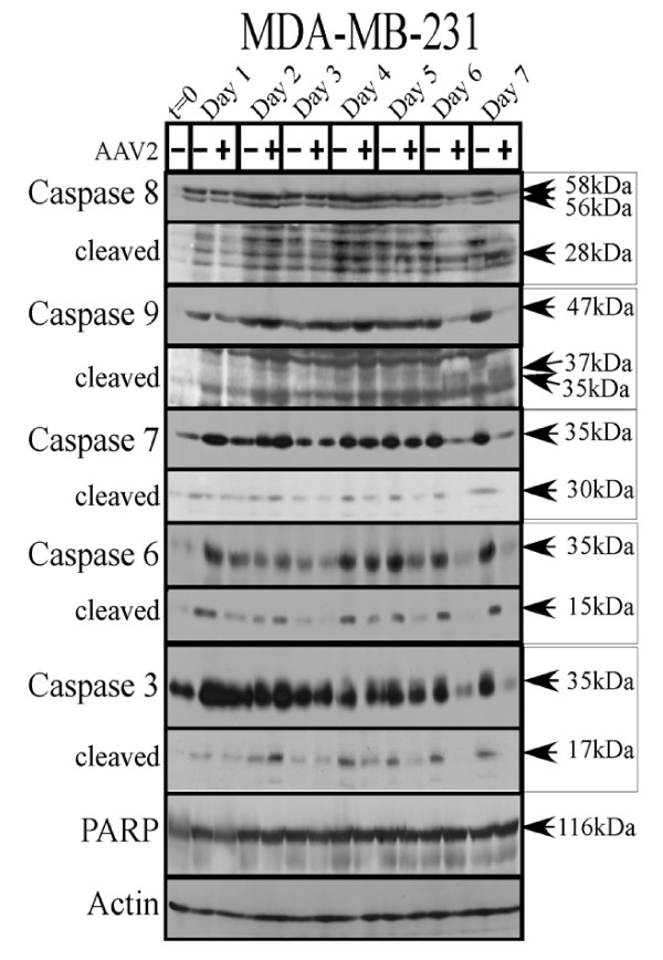 AAV2 induction of apoptosis/cell death in MDA-MB-231 cells results in activation of caspases of both the intrinsic and extrinsic pathways but not PARP cleavage . Left panel: MDA-MB-231 monolayer cell cultures were synchronized in G1, followed by infection with AAV2. Cell pellets were collected each day over a 7 day period. Cells were passaged 1:2 on day 2 and day 5. Detection of caspases and their cleavage/activation was performed by Western blotting. Total protein extracts were prepared as described previously [ 48 ]. Sixty micrograms of total protein extracts from AAV2 infected and control MDA-MB-468 cells were resolved in SDS-polyacrylamide gel electrophoresis (PAGE) gels. To detect the 35 kDa pro-caspase form of caspase-3, proteins were resolved in a 10% SDS-PAGE gel and detected with caspase-3 rabbit monoclonal antibody (Cell Signaling Technology). To detect the17-kDa cleaved caspase-3 forms, proteins were resolved in a 15% SDS-PAGE gel and detected with rabbit polyclonal antibody against cleaved caspase-3 (Cell Signaling Technology). To detect the 35 kDa pro-caspase form of caspase-6, proteins were resolved in a 10% SDS-PAGE gel and to detect the 15 kDa cleaved form of caspase-6, proteins were resolved in a 15% SDS-PAGE gel and detected with a rabbit polyclonal antibody (Cell Signaling Technology). To detect both the pro- and cleaved forms of caspase-7, caspase-8 and caspase-9, proteins were resolved in a 10% SDS-PAGE gel. The 35 kDa pro-caspase form and the 30 kDa/20 kDa cleaved forms of caspase-7 was detected with a mouse monoclonal antibody (Cell Signaling). The pro-caspase and cleaved 28 kDa form of caspase-8 was detected with a mouse monoclonal antibody (Alexis Biochemicals). The 47 kDa pro-caspase and 37 kDa/35 kDa cleaved forms of caspase-9 were detected with a rabbit polyclonal antibody (Cell Signaling). To detect the pro- (116 kDa) form of PARP, proteins were resolved in a 7.5% SDS-PAGE gel and detected with a rabbit monoclonal antibody (Cell Signalin