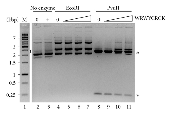 Effect of peptide WRWYCRCK on restriction digestion by restriction endonucleases. Representative gel picture showing the result of incubating pUC19 plasmid with EcoRI (lanes 4–7) or PvuII (lanes 8–11) in the presence of peptide WRWYCRCK at the following concentration: 12.5 μ M, 25 μ M, or 50 μ M. The sizes, kbp, of the DNA marker (lane 1, labeled M) are shown to the left of the gel picture. 0: control lanes with no peptide added; +: control lane with 50 μ M peptide added; asterisks indicate the gel electrophoretic mobility of the digested plasmid, for EcoRI, 2.7 kbp, and for PvuII, 0.3 kbp and 2.4 kbp.